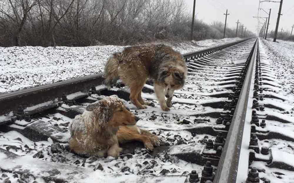 คารวะหัวใจกล้าหาญของเจ้าสุนัขที่เอาตัวบังไม่ให้เพื่อนที่นอนเจ็บถูกรถไฟทับ