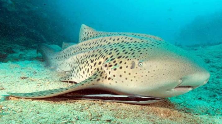 zebra-shark-baby-reproduction-1