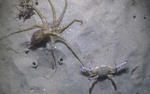 octopus-vs-crab-1