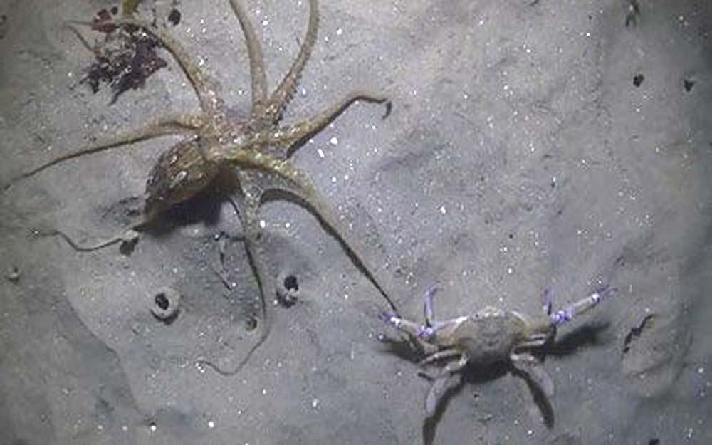 ซุปเปอร์ไฟท์ใต้ทะเล: ชมหมึกยักษ์ไล่จับปูม้าที่สู้สุดฤทธิ์ด้วยชั้นเชิงที่น่าชม