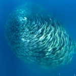 ชมฝูงปลากะตักรวมกลุ่มว่ายหมุนวนเป็นลูกบอลยักษ์เพื่อป้องกันตัวจากนักล่า