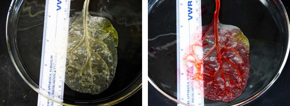spinach-leaf-hearth-tissue-2