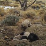ตัวแบดเจอร์จอมขยันจัดการฝังวัวตัวใหญ่กว่ามันสี่เท่าไว้ใต้ดินเพื่อเก็บซ่อนไว้กิน