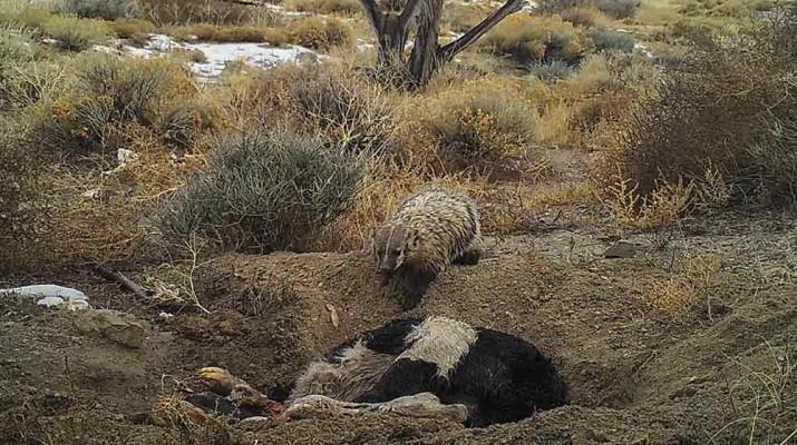 badger-bury-calf-1