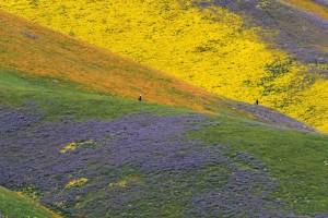 california-super-bloom-4