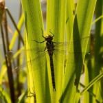 แมลงปอตัวเมียแกล้งตายเพื่อหลีกเลี่ยงไม่ให้ตัวผู้ตัณหาจัดมายุ่งกับมัน