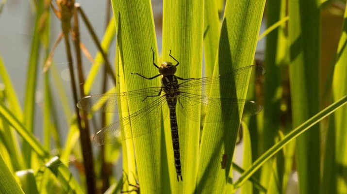 female-dragonflies-fake-death-1