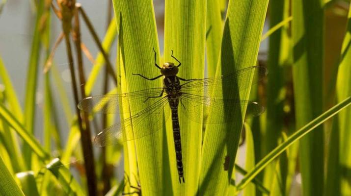 female-dragonflies-fake-death-1