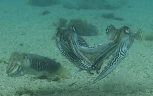 male-cuttlefish-fight-1