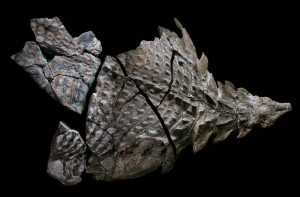 nodosaur-fossil-canada-3