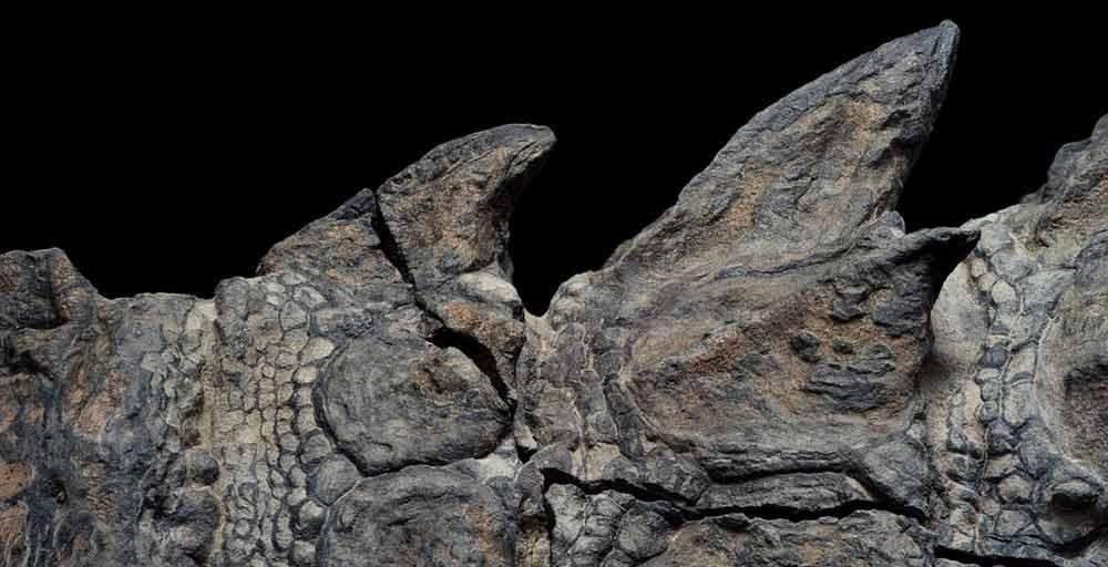nodosaur-fossil-canada-4