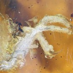 พบลูกนกทั้งตัวอายุ 99 ล้านปีอยู่ในอำพัน สภาพสมบูรณ์มากที่สุดเท่าที่เคยเจอ