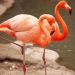 ทำไมนกฟลามิงโกยืนหลับขาเดียว? นักวิทยาศาสตร์มีคำตอบแล้ว