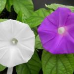 นักวิทยาศาสตร์เปลี่ยนสีของดอกไม้ได้ด้วยการตัดต่อยีนส์เป็นครั้งแรก