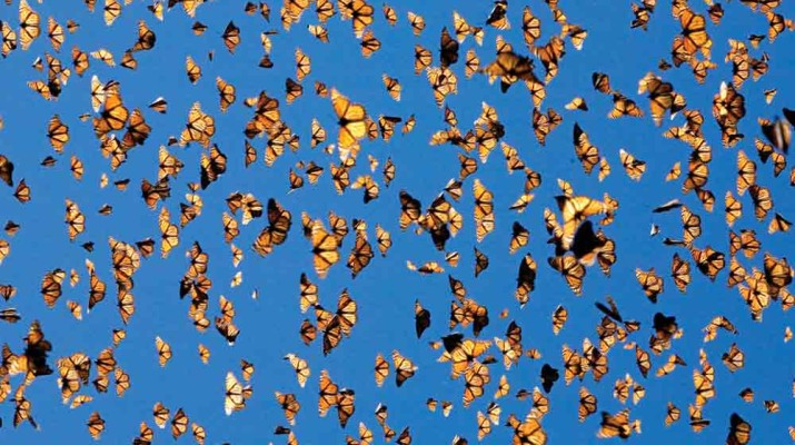 monarch-butterflies-could-soon-be-extinct-1