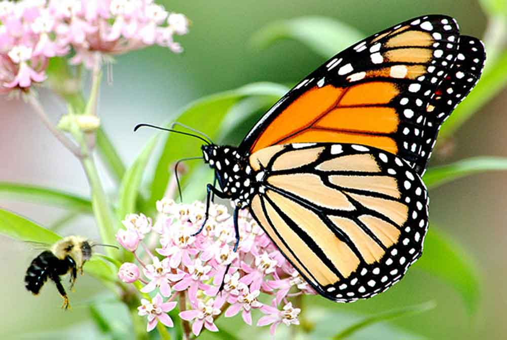 monarch-butterflies-could-soon-be-extinct-2