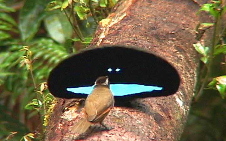 นกการเวกที่มีขนสีดำที่ดำที่สุดในโลกผู้มีลีลาเกี้ยวสาวน่าเร้าใจ