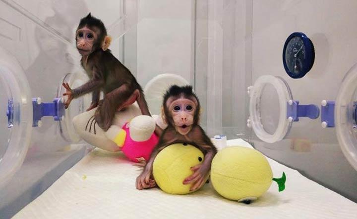 china-monkey-clones-2