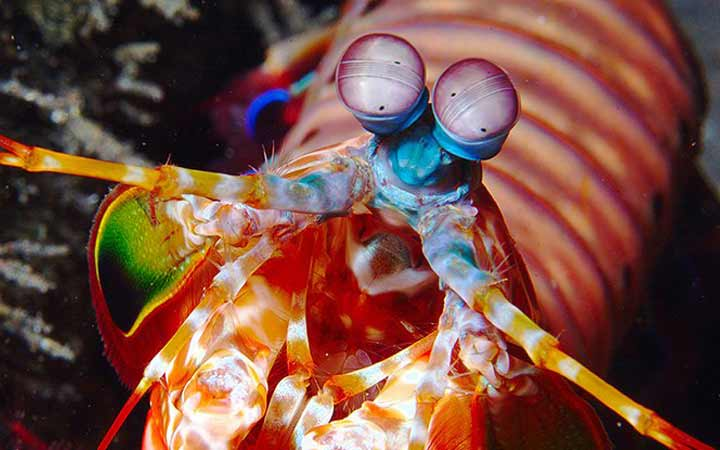 mantis-shrimp-eyes-1