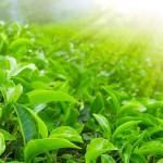 อนุภาคนาโน 'ควอนตัมดอท' ทำจากใบชาสามารถทำลายเซลล์มะเร็งปอดได้