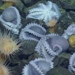 นักวิทยาศาสตร์พบหมึกยักษ์กำลังฟักไข่ที่บริเวณเดียวกันใต้ทะเลลึกจำนวนกว่า 1,000 ตัว