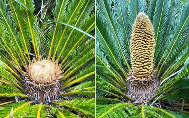 Cycas-produce-cone-1-