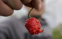 """กิน """"พริก"""" เป็นประจำอาจช่วยลดความเสี่ยงตายจากโรคหัวใจได้ถึง 40%"""