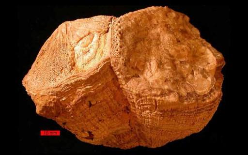 เปลือกหอยโบราณบอกให้รู้ว่าเมื่อ 70 ล้านปีก่อน 1 วันมีเพียง 23 ชั่วโมงครึ่ง