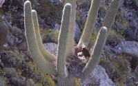พบนกอินทรีหัวขาวทำรังอยู่บนต้นกระบองเพชรยักษ์เป็นครั้งแรกในรอบเกือบศตวรรษ