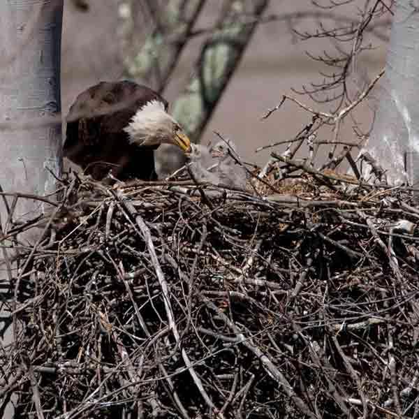 bald-eagles-nesting-saguaro-cactus-3