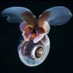"""""""หอยทากทะเล"""" แพลงก์ตอนตัวจิ๋วที่สามารถบินในน้ำแบบเดียวกับแมลงบินในอากาศ"""