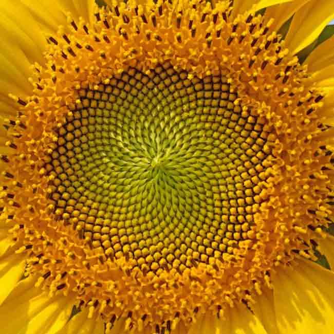 golden-ratio-in-nature-15