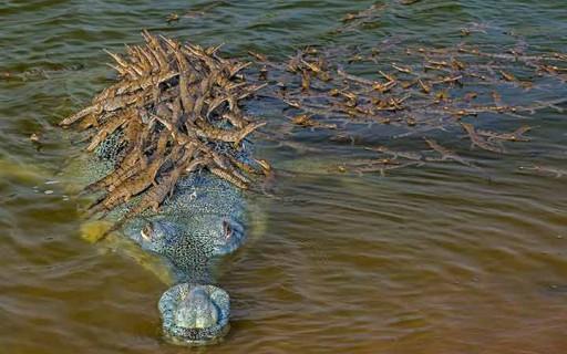 พ่อแห่งปี! จระเข้ให้ลูกน้อยกว่า 100 ตัวขี่หลังขณะเลี้ยงดูพวกมันในน้ำ