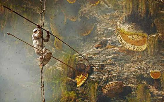 ไต่หน้าผาล่ารังผึ้งยักษ์หิมาลัยภารกิจเสี่ยงตายสุดท้าทายของชาวเขาเนปาล