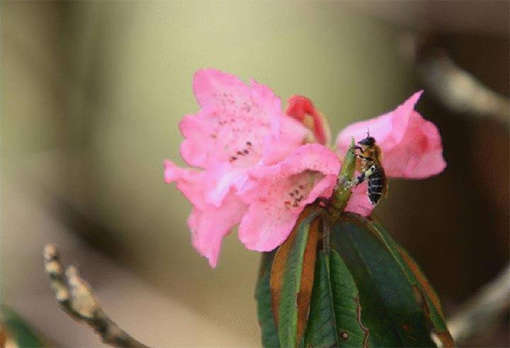 himalayan-giant-honey-bee-3