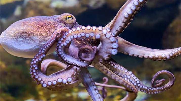 octopuses-dream-1
