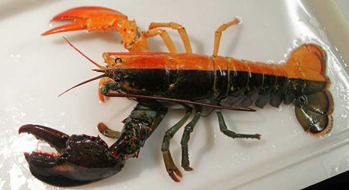 10-fascinating-lobster-facts-03