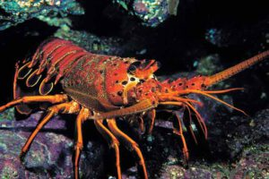 10-fascinating-lobster-facts-04